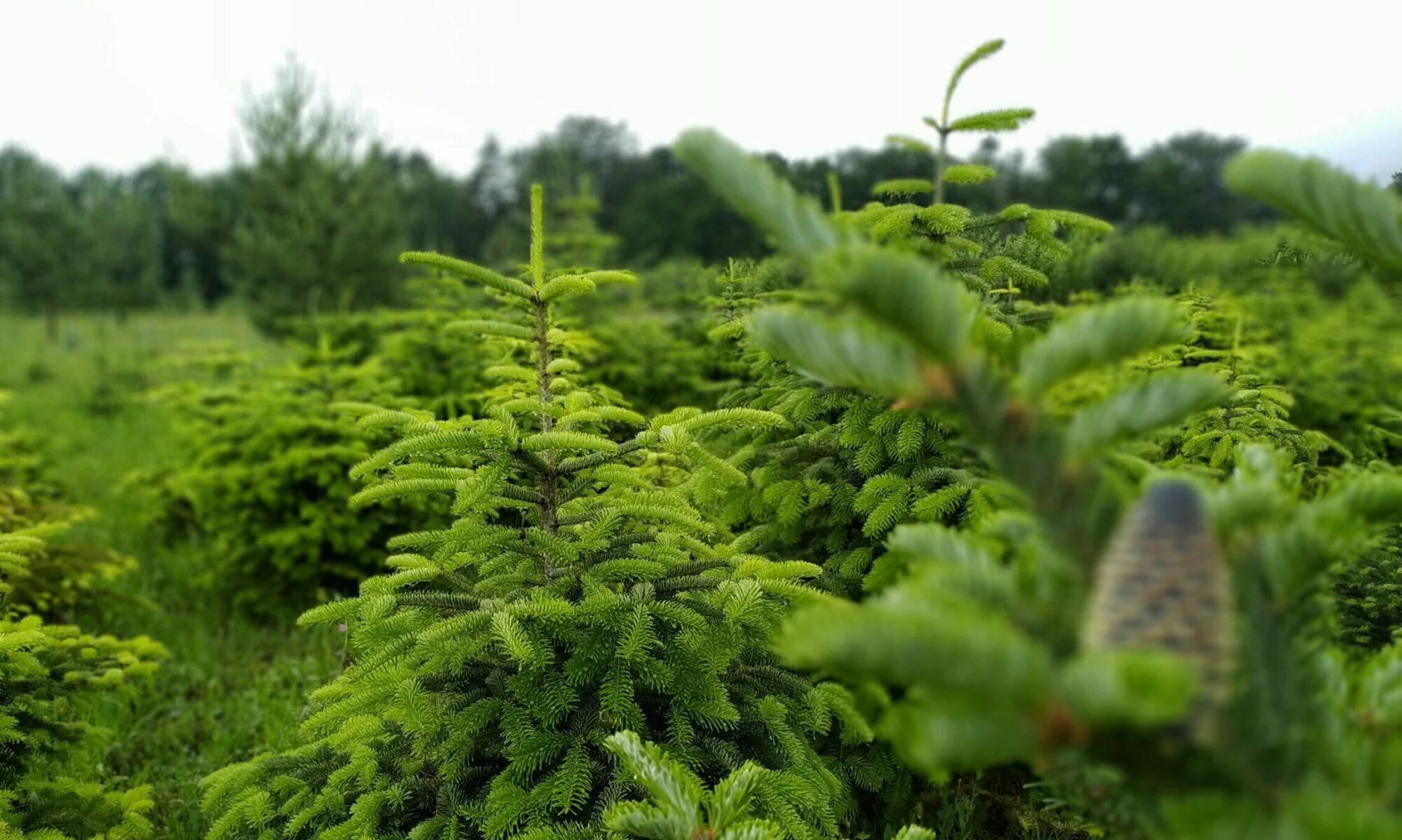 Plantáž vánočních stromků